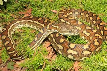 South East Snake Catcher - Coastal Carpet Python Snake - Gold Coast