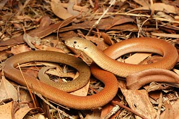 Common Scaly Foot Legless Lizard - South East Snake Catcher Gold Coast