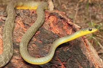 South East Snake Catcher - Common Tree Snake - Gold Coast