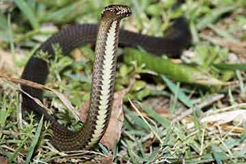 South East Snake Catcher - Dwarf Crowned Snake - Gold Coast