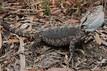 Eastern Bearded Dragon - South East Snake Catcher Gold Coast