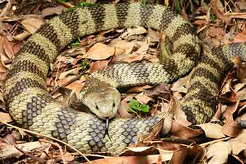 South East Snake Catcher - Eastern Tiger Snake - Gold Coast