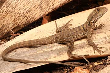 Eastern Water Dragon - South East Snake Catcher Gold Coast