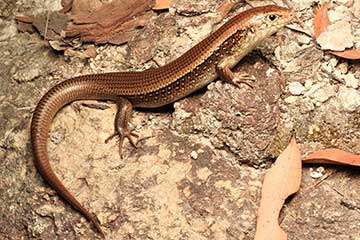 Major Skink - South East Snake Catcher Gold Coast
