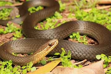 South East Snake Catcher - Marsh Snake - Gold Coast