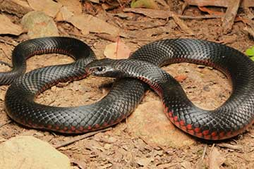 South East Snake Catcher - Red Bellied Black Snake - Gold Coast