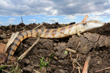 South-East-Snake-Catcher-Gold-Coast-Blue-Tongue-Skink