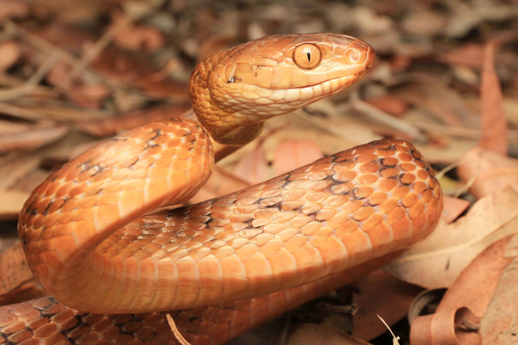 South-East-Snake-Catcher-Gold-Coast-Brown-Tree-Snake