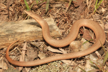South-East-Snake-Catcher-Gold-Coast-Burtons-Legless-Lizard