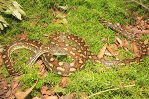 South-East-Snake-Catcher-Gold-Coast-Coastal-Carpet-Python