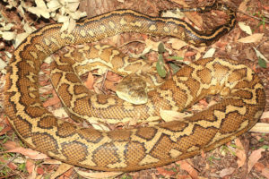 South-East-Snake-Catcher-Gold-Coast-Coastal-Carpet-Python