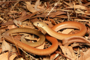 South-East-Snake-Catcher-Gold-Coast-Common-Scaly-Foot-Legless-Lizard