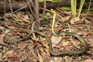South-East-Snake-Catcher-Gold-Coast-Common-Tree-Snake