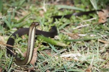 South-East-Snake-Catcher-Gold-Coast-Dwarf-Crown-Snake