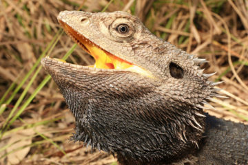 South-East-Snake-Catcher-Gold-Coast-Eastern-Bearded-Dragon