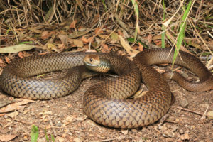 South-East-Snake-Catcher-Gold-Coast-Eastern-Brown-Snake