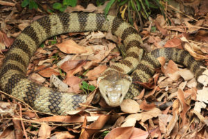 South-East-Snake-Catcher-Gold-Coast-Eastern-Tiger-Snake