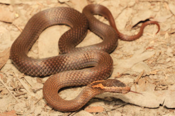 South-East-Snake-Catcher-Gold-Coast-Golden-Crowned-Snake