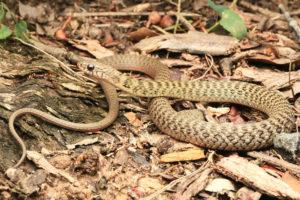 South-East-Snake-Catcher-Gold-Coast-Keelback-Snake