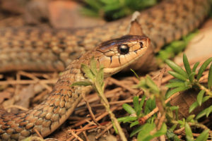 South-East-Snake-Catcher-Gold-Coast-Keelback-Snake