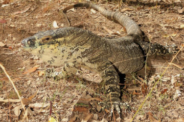 South-East-Snake-Catcher-Gold-Coast-Lace-Monitor