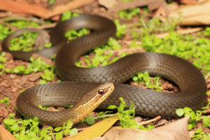 South-East-Snake-Catcher-Gold-Coast-Marsh-Snake