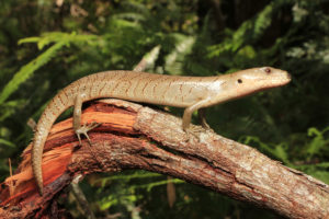 South-East-Snake-Catcher-Gold-Coast-Pink Tongue-Skink