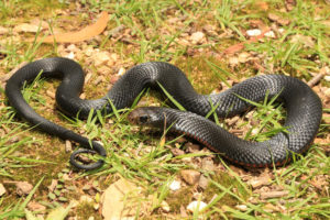 South-East-Snake-Catcher-Gold-Coast-Red-Bellied-Black-Snake