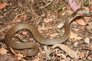 South-East-Snake-Catcher-Gold-Coast-Rough-Scaled-Snake