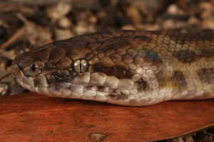 South-East-Snake-Catcher-Gold-Coast-Spotted-Python