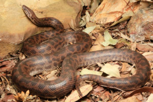 South-East-Snake-Catcher-Gold-Coast-Spotted-Python
