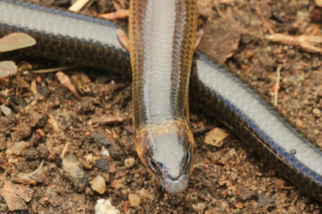 South-East-Snake-Catcher-Gold-Coast-Three-Clawed-Worm-Skink
