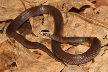 South-East-Snake-Catcher-Gold-Coast-White-Crowned-Snake