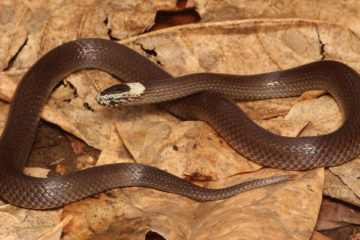South East Snake Catcher - White Crowned Snake