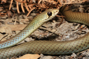 South-East-Snake-Catcher-Gold-Coast-Yellow-Faced-Whip-Snake