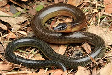 Three Clawed Worm Skink - South East Snake Catcher Gold Coast