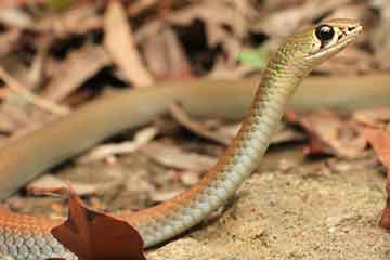 South East Snake Catcher - Yellow Faced Whip Snake - Gold Coast
