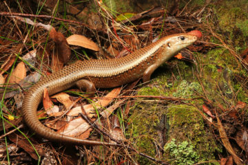 South-East-Snake-Catcher-Gold-Coast-Major-Skink