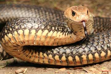 South East Snake Catcher - Eastern Brown Snake - Gold Coast