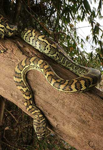 Snake Catcher Gold Coast Carpet Python