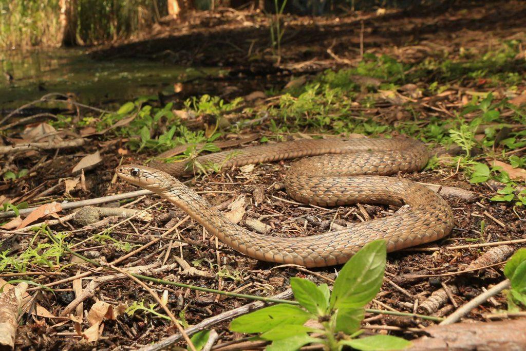 Gold Coast Keelback Snake