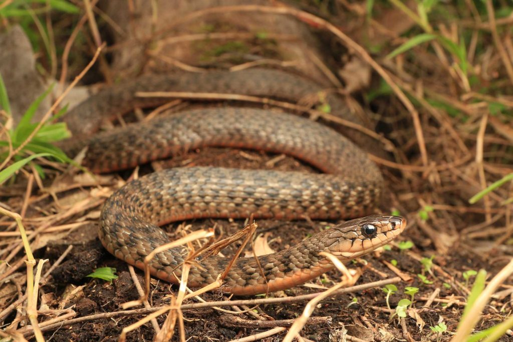 Gold Coast Keelback Snake Catcher