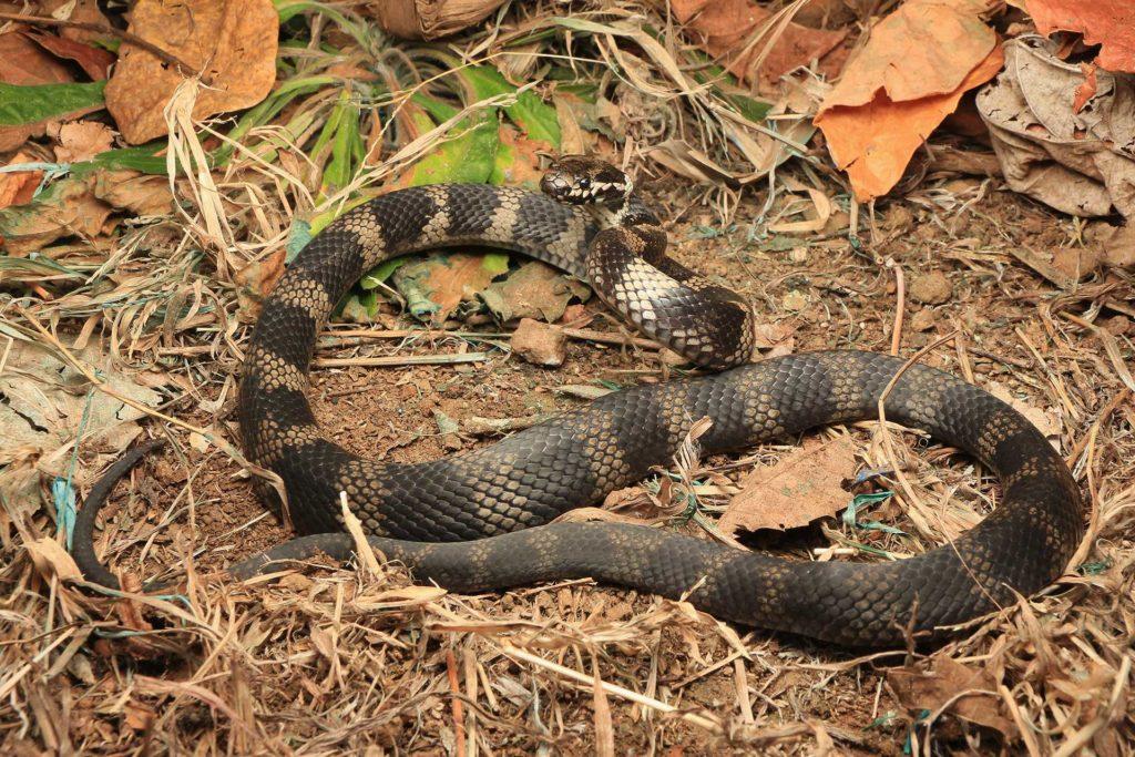 Stephens Banded Snake