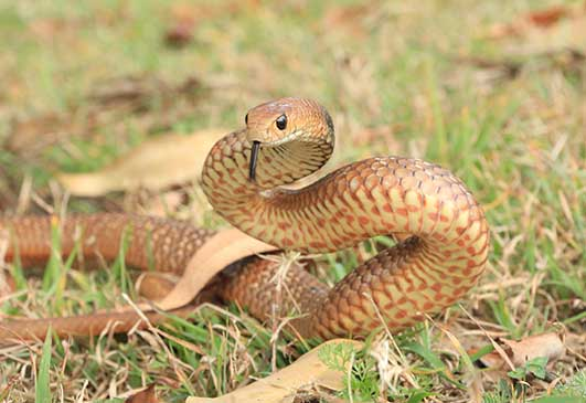 Eastern Brown Snake Relocated By Gold Coast Snake Catcher