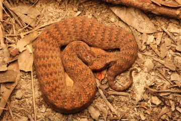 South-East-Snake-Catcher-Gold-Coast-Common-Death-Adder