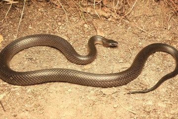 South-East-Snake-Catcher-Gold-Coast-Eastern-Small-Eyed-Snake