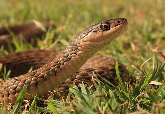 Keelback Snake Relocated By Gold Coast Snake Catcher