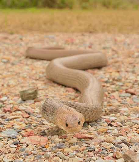 Carrara Snake Catcher