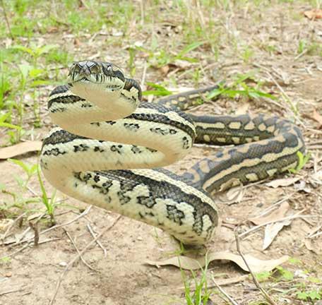Scenic Rim Gold Coast Snakes