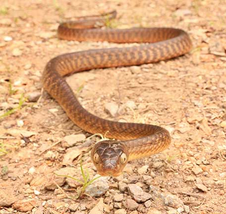 South East Queensland Snakes